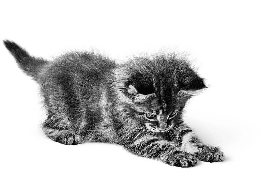 L'arrivée du chaton